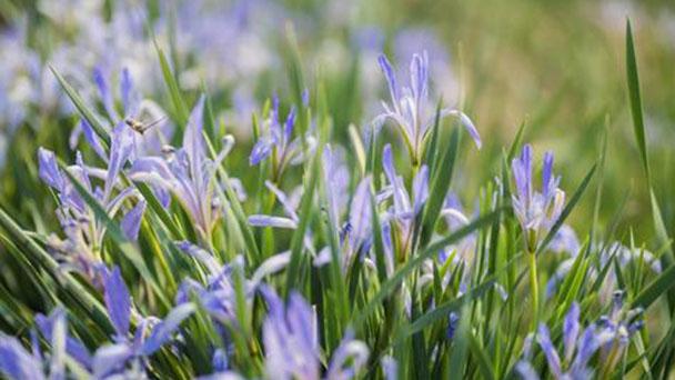 Iris lactea profile