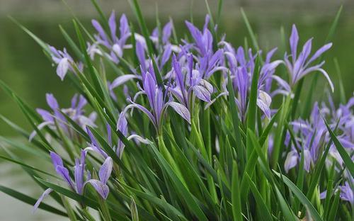 Iris lactea