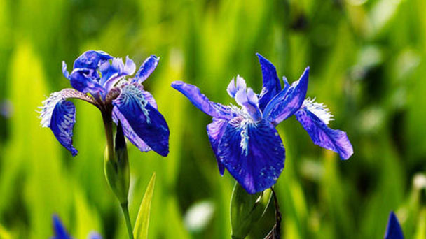 How to grow and care for Iris lactea
