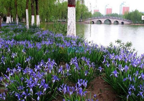 propagation methods of Iris lactea.