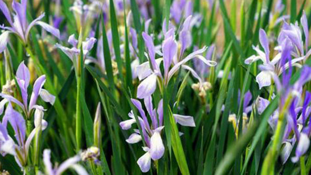 How to propagate Iris lactea