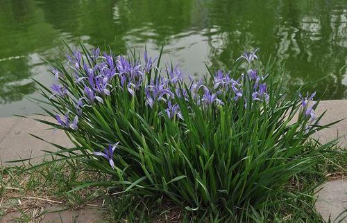 care for Iris lactea