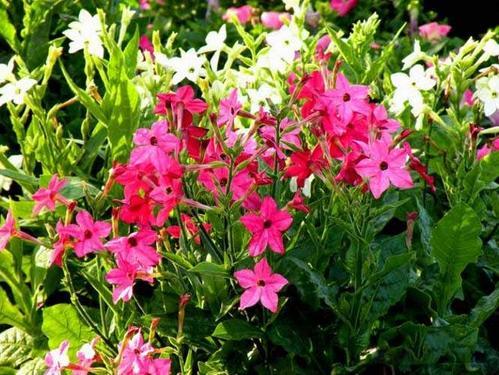 propagation methods of Jasmine tobacco