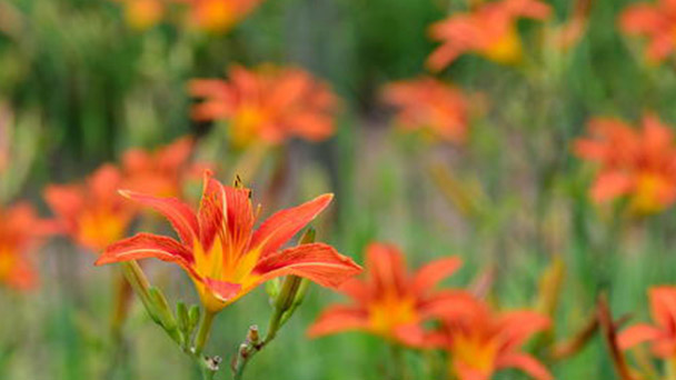How to propagate Orange day-lily