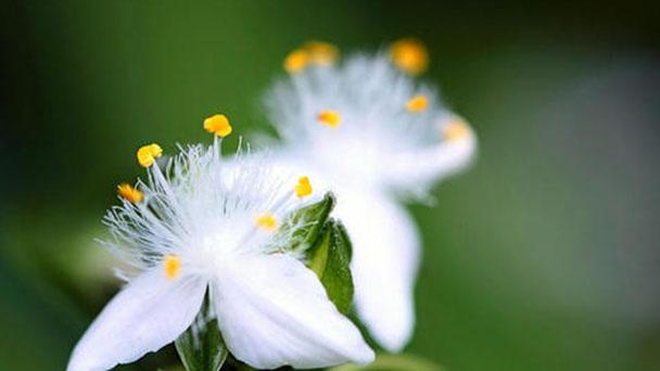 Small-leaf spiderwort profile