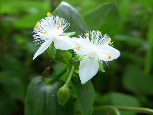 propagate Small-Leaf Spiderwort