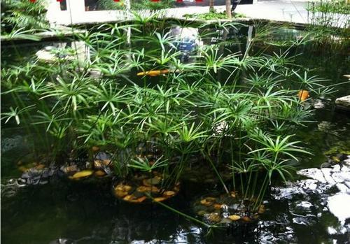 care for Umbrella plant
