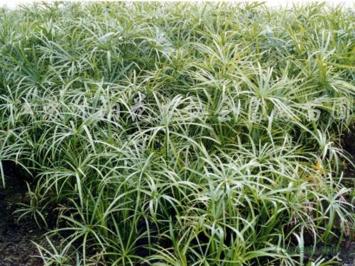 propagation methods ofUmbrella Plant
