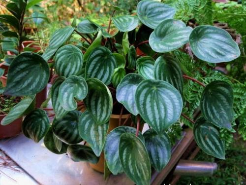 propagation methods of Watermelon peperomia