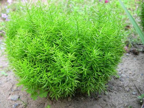 Chinese asparagus
