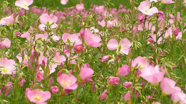 How to propagate Common evening-primrose