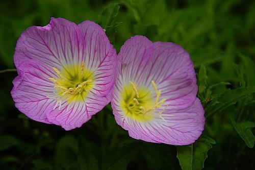 propagation method of Common evening-primrose