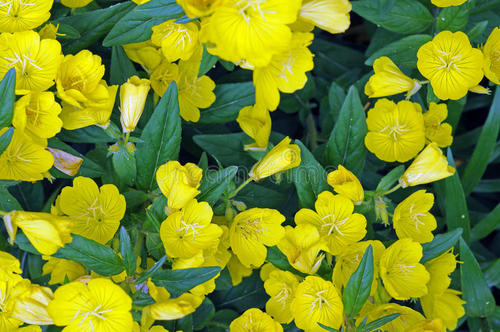 grow Common evening-primrose