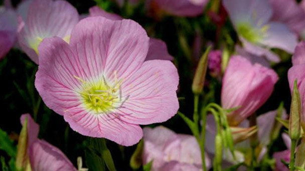 How to grow and care for Common evening-primrose
