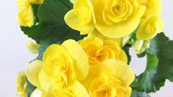 Elatior Begonia profile