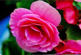 Elatior Begonia care