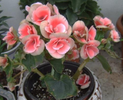 propagation method of Elatior Begonia