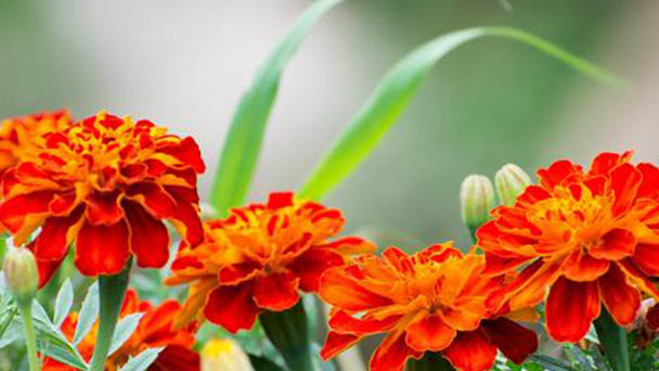 How to propagate French marigold
