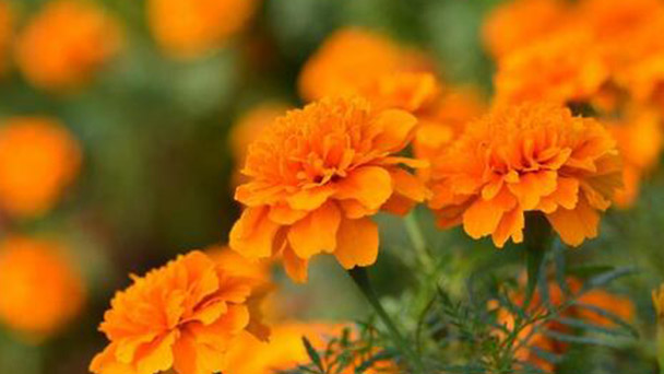 French marigold plant care