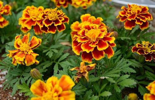care for French marigold