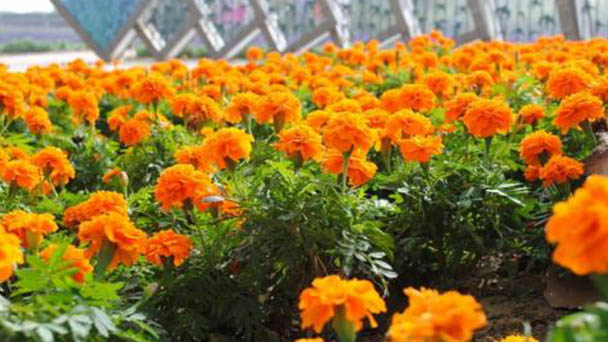 How to grow and care for French marigold