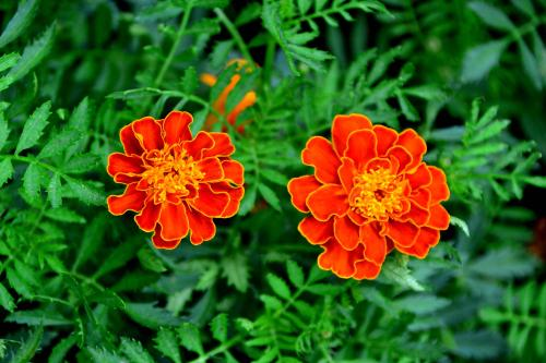 propagation method of French marigolds