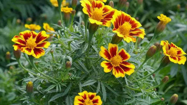 How to care for French marigolds