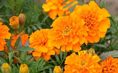 French marigold care