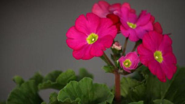 German primrose profile