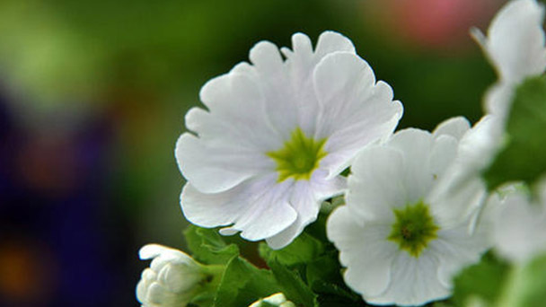 How to grow and care for German primrose