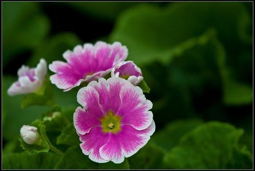 German primrose