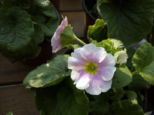 propagation methods of German primrose