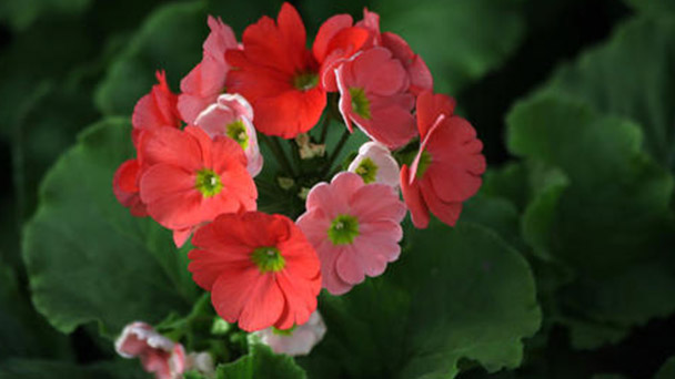 How to propagate German primrose