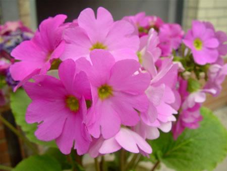 care for German primrose