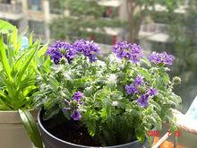growing Heliotropium arborescens care
