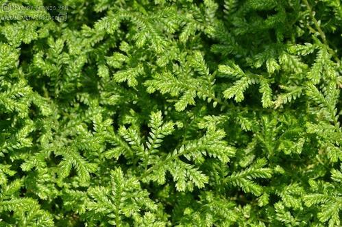 propagation methods ofPeacock moss