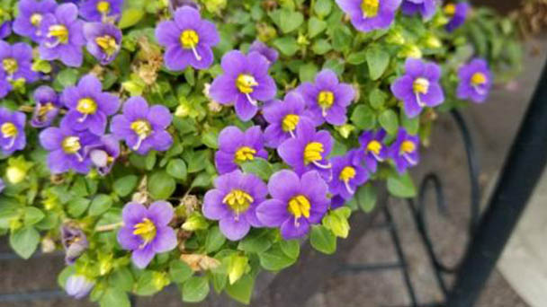 Persian violet profile