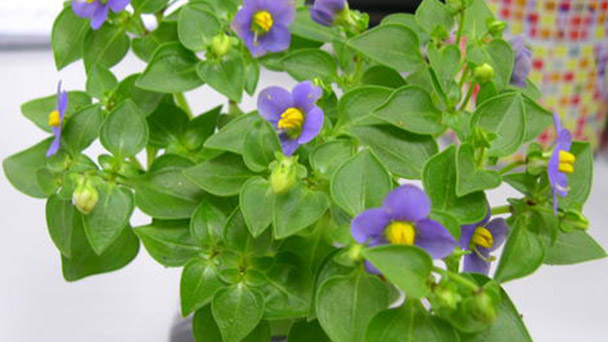 How to grow and care for Persian violet