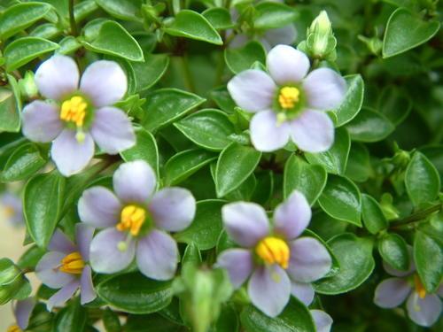 propagate Persian violet