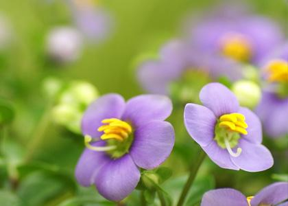 Persian violet care