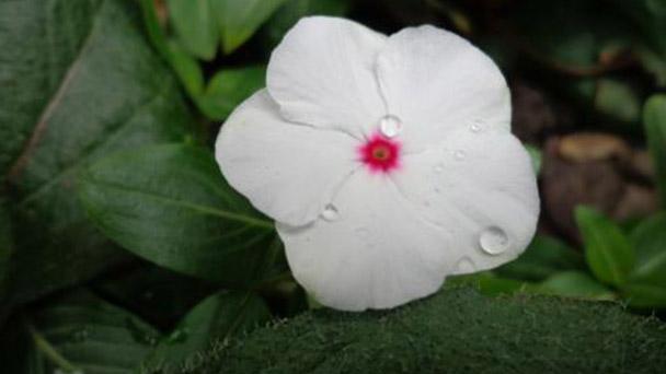 Rosy periwinkles profile
