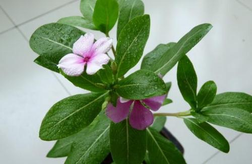 propagation methods of Rosy Periwinkle