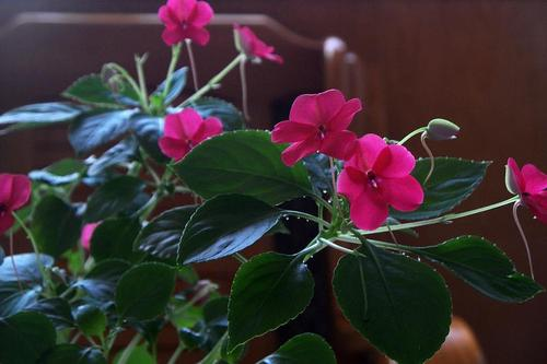 Rosy periwinkle care
