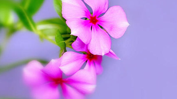 How to grow and care for Rosy periwinkle