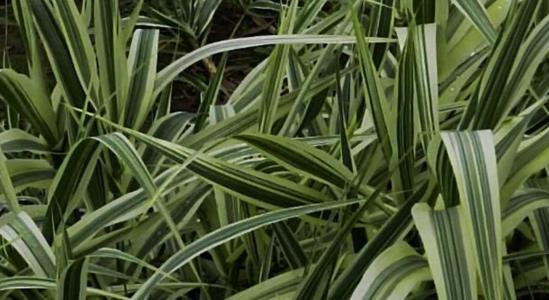 Tall oat-grass