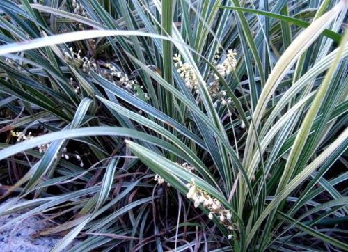 care for Tall oat-grass