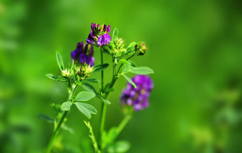 grow and care for Alfalfa