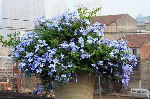 Blue Plumbago care