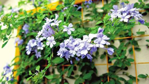 How to grow and care for Blue Plumbago