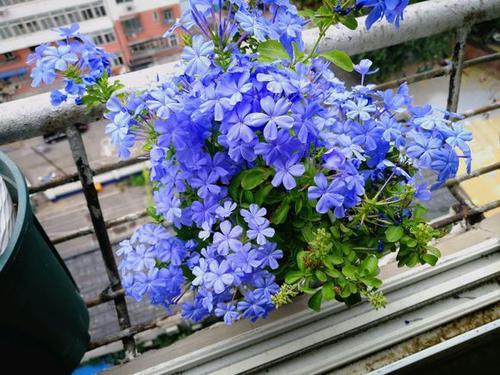 propagate Blue Plumbago